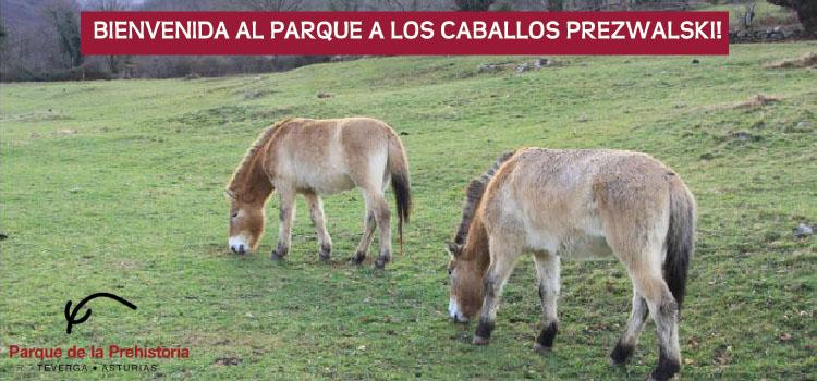 Asturias con niños a dónde vamos hoy? a dar Bienvenida a los caballos Prezwalski en Teverga!